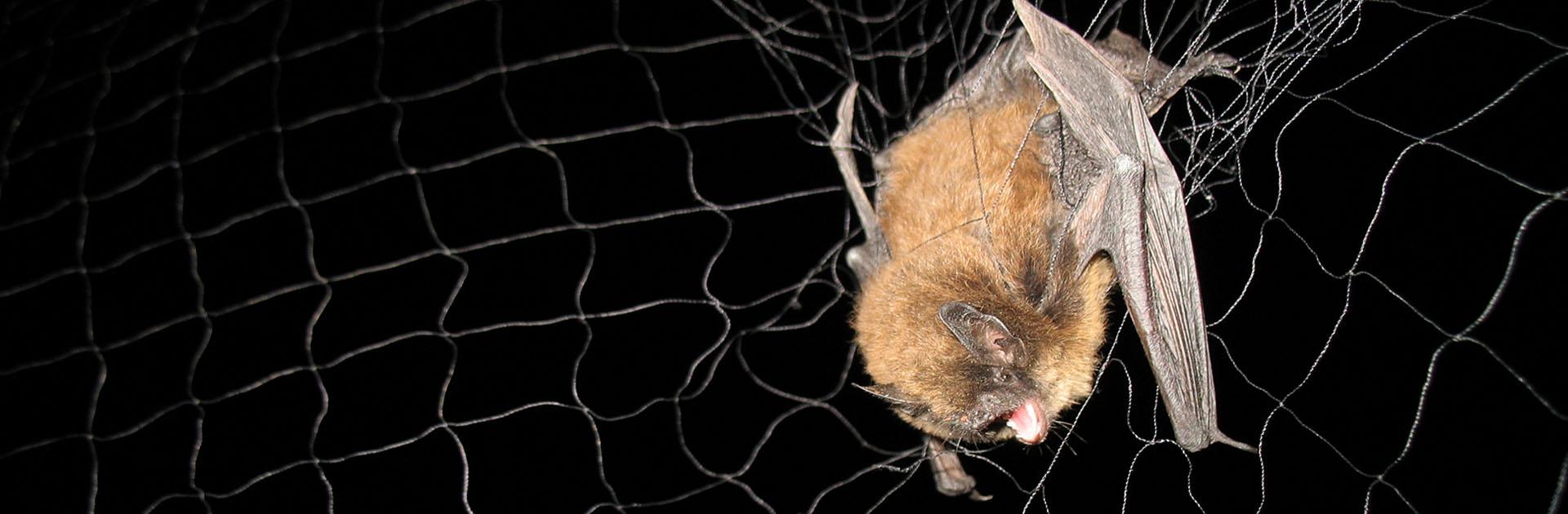 long-legged-bat-Myotis-volans-in-mist-net-Jeetekno